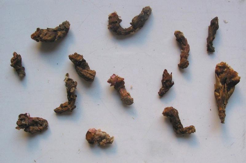 Vị thuốc khương hoạt trong chữa đau vai gáy bằng Đông y