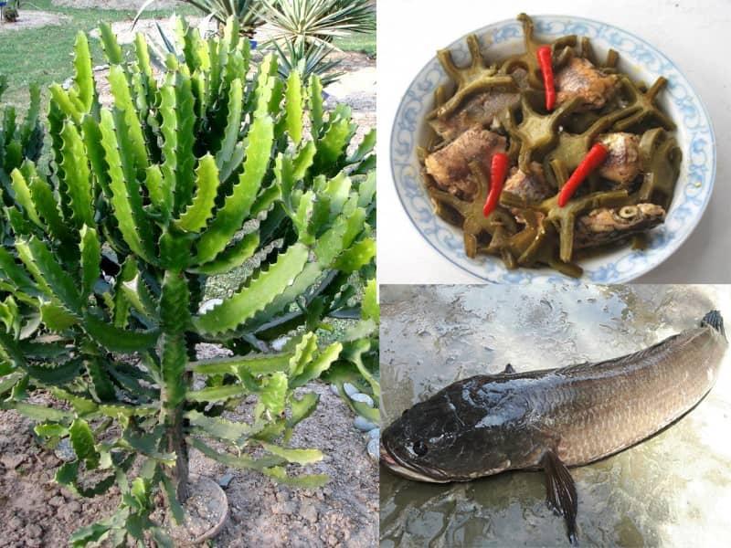 Bài thuốc chữa gai cột sống từ cây xương rồng và cá lóc