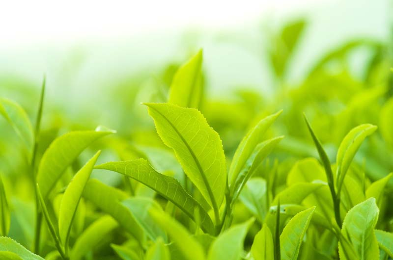 Cách chữa hắc lào dân gian bằng là trà xanh