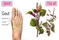 trị bệnh gout bằng rau lá tía tô