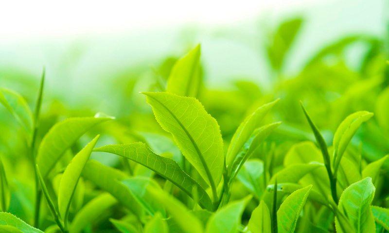 Hướng dẫn 2 cách điều trị nấm âm đạo bằng trà xanh hiệu quả, an toàn
