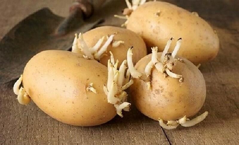 Mầm khoai tây tươi trị mụn cóc rất tuyệt vời