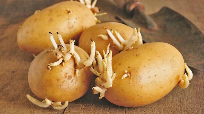 Mẹ bầu không nên ăn khoai tây mọc mầm