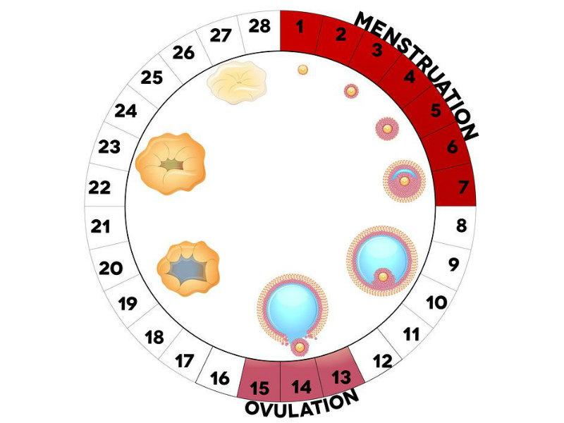 Chu kỳ trứng rụng của phụ nữ dao động từ ngày 11 tới ngày 21