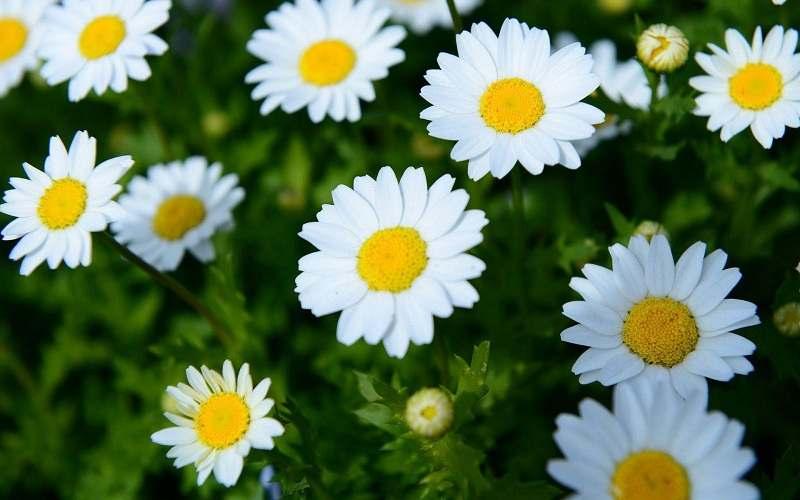 Tác dụng của hoa cúc trong việc chữa nấm phụ khoa là gì?