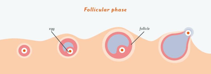 Thời kỳ rụng trứng bắt đầu khi nang trứng phát triển