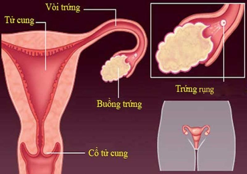 Trứng rụng được đưa tới ống dẫn trứng để gặp tinh trùng