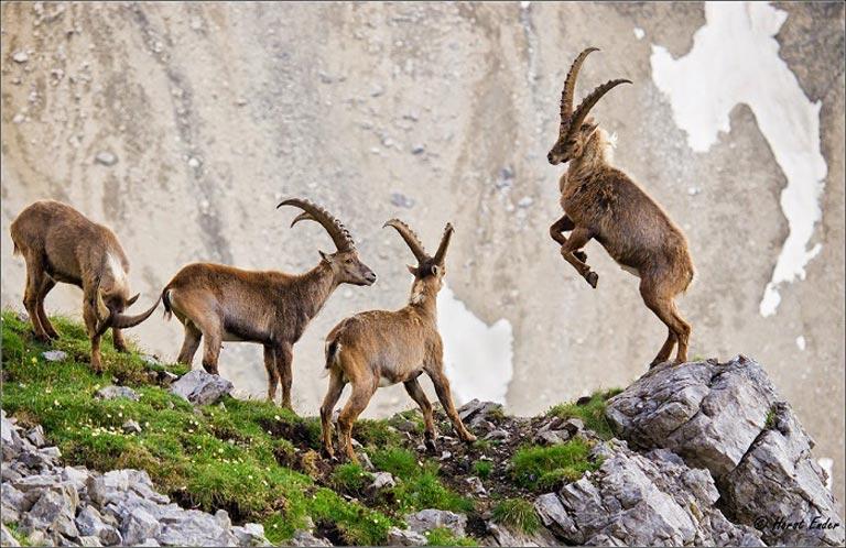 Dê nổi tiếng là động vật có khả năng giao phối nhiều nhất hành tinh